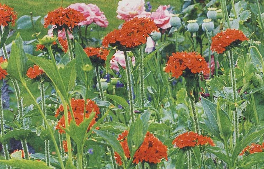 татарское мыло цветы фото