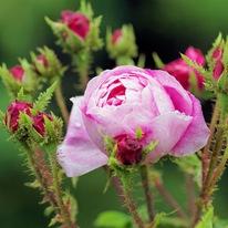 Роза столистная