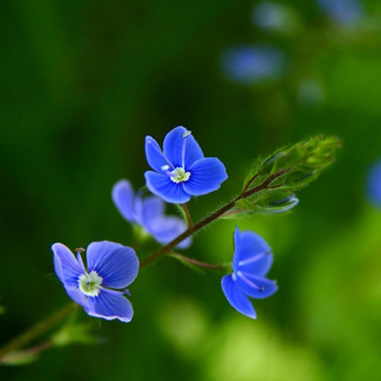 Цветок болотник домашний - 2