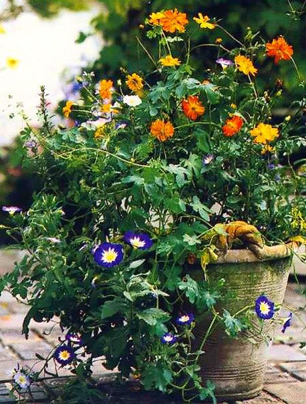 Вьюнок трехцветный выращивание из семян когда сажать 72