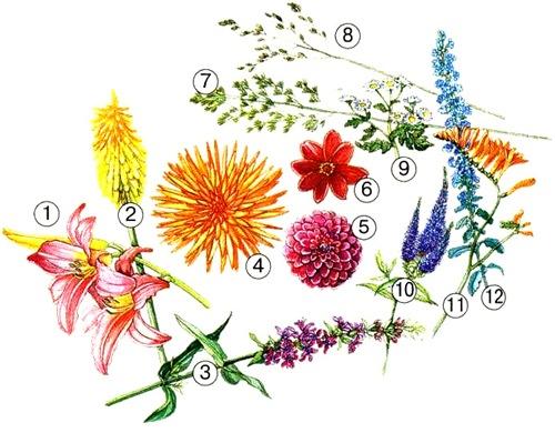 Сочетание георгин с другими цветами