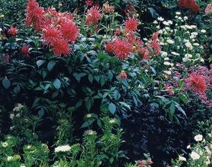 Розовые кактусовые георгины