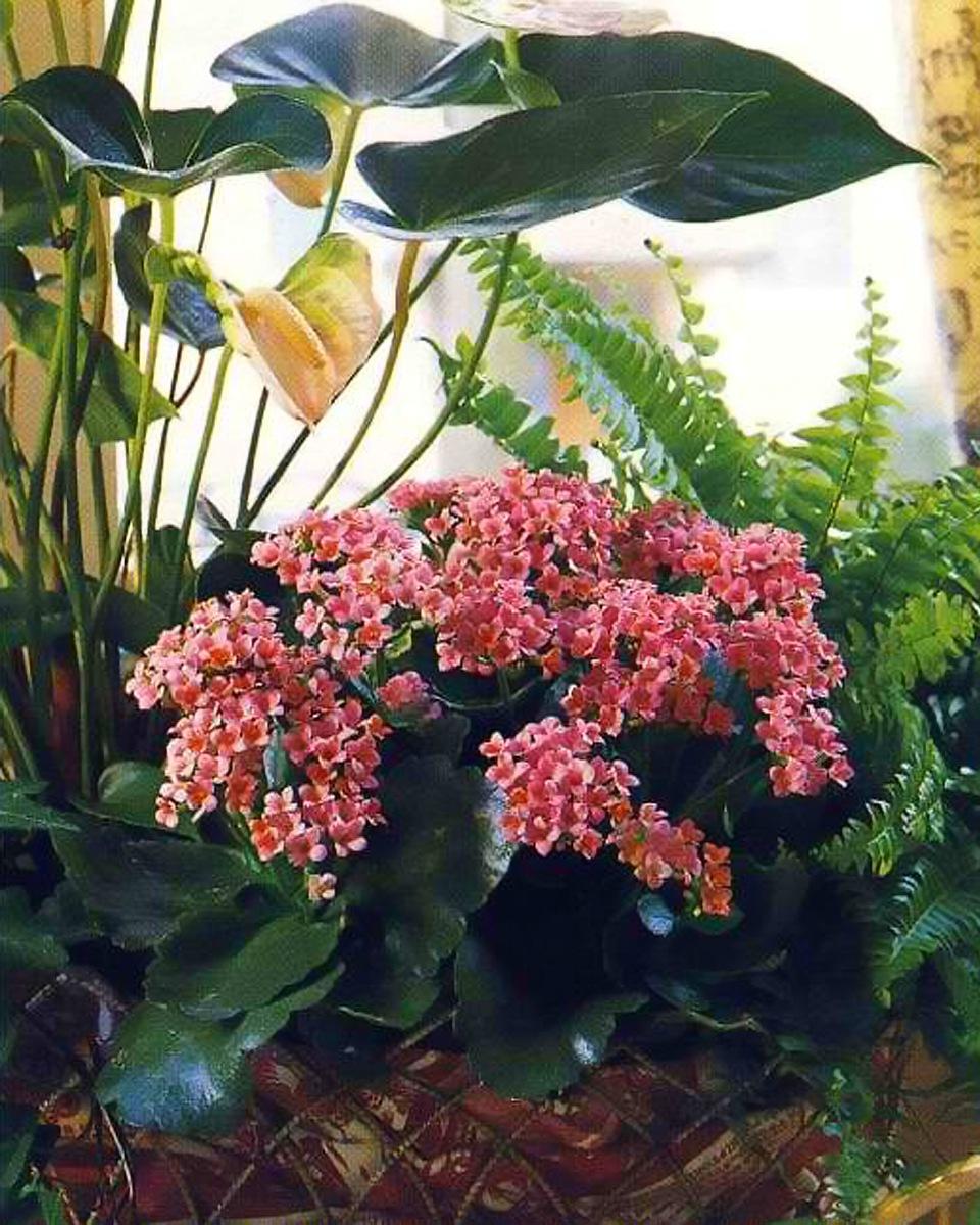 Абрикосовые цветки каланхоэ и бегонии