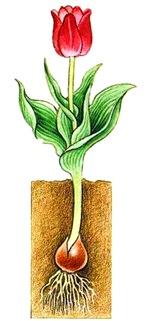 Развитие луковиц тюльпана