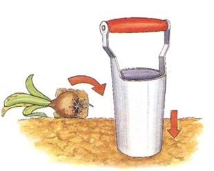 Пересадка луковичных