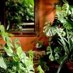 Классика комнатного цветоводства