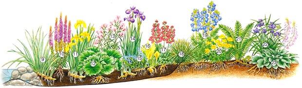 Растения для прибрежной зоны пруда