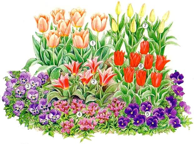 Схема клумбы с тюльпанами