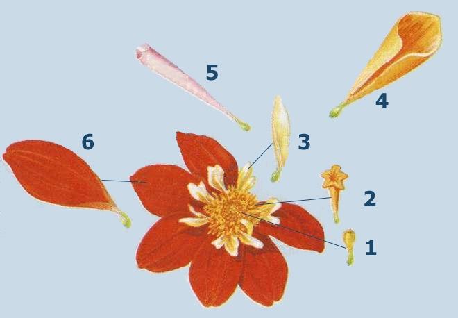 Строение цветка георгины 1 мелкий