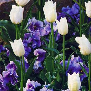Тюльпаны и анютины глазки