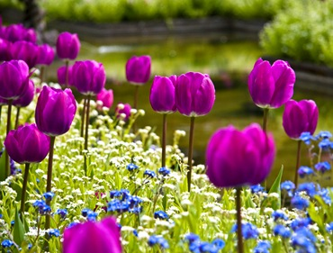 Тюльпаны и незабудки