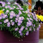 Цветы из семян для балконных ящиков