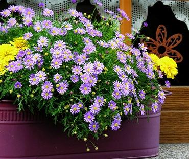 Цветы из семян для ящиков