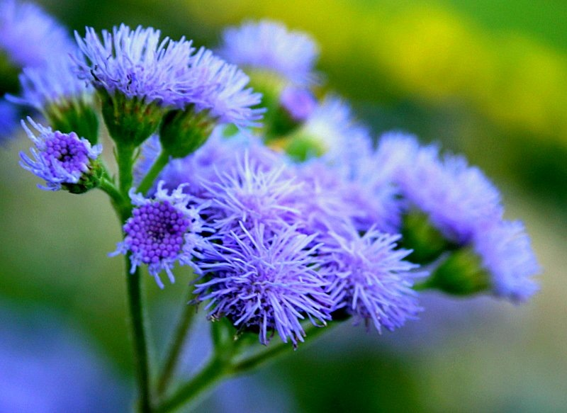 агератум фото цветы