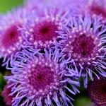 Агератум фиолетовый