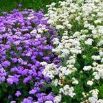 Агератум белый и фиолетовый