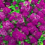 Агератум Artist Purple