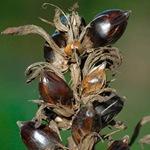 Семена аканта
