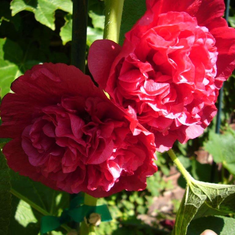 """"""",""""flowers.cveti-sadi.ru"""