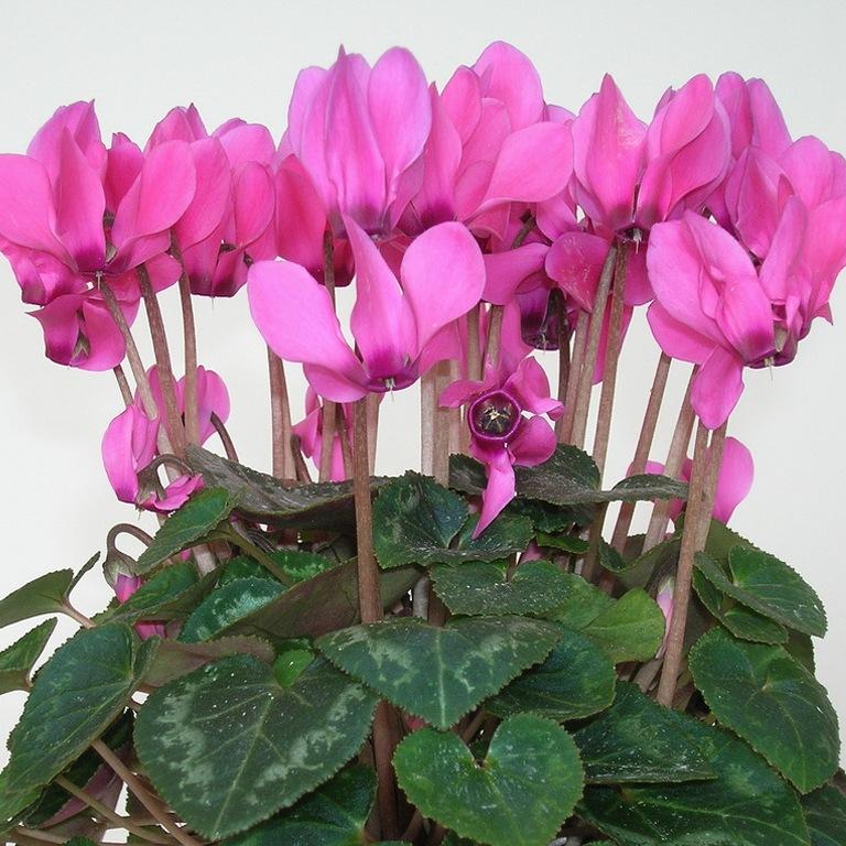 цветок цикламен фото: