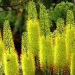 Эремурус – почему гибнет растение?