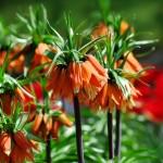 Рябчик императорский – почему не цветет?