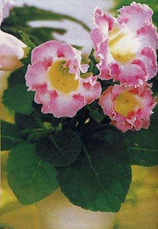 Розовая глоксиния