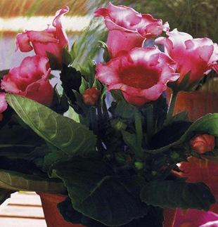 Нежно-розовая глоксиния