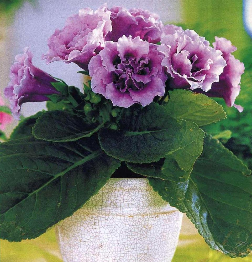 Фиолетовая махровая глоксиния.