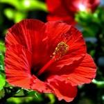 Гибискус – цветок пылающей страсти