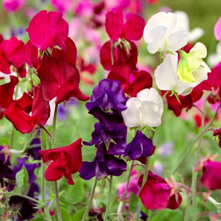 цветы однолетники низкорослые
