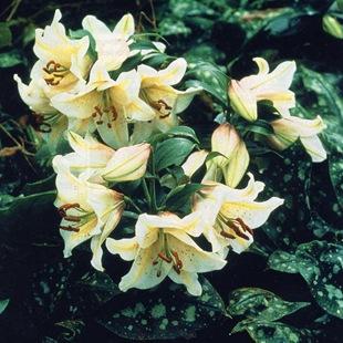 Белые лилий