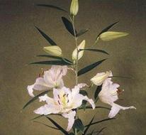 Лилия 'Nippon'