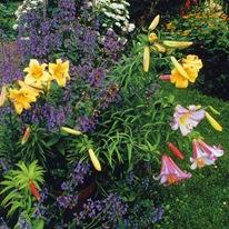 Лилия в цветнике