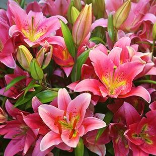 Восточные гибриды лилий