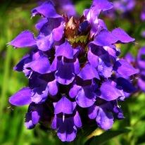 Прунелла крупноцветковая