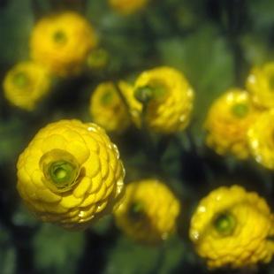 Лютик едкий - садовая разновидность