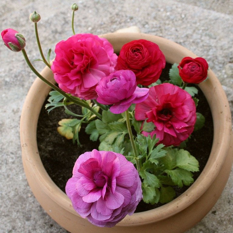 цветы ранункулюс посадка и уход с фото