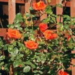 Розы – к зимовке готовьте с лета