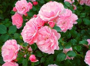 Роза 'Bonica'