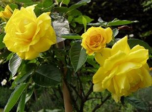 Роза 'Friesia'