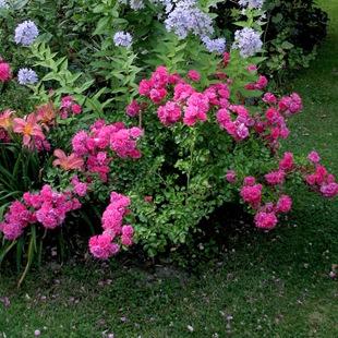 Роза 'Heidetraum'