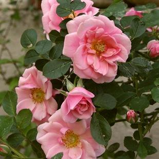 Роза 'Pink Symphonie'
