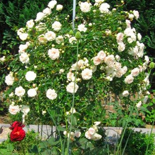 Роза  'Swany'