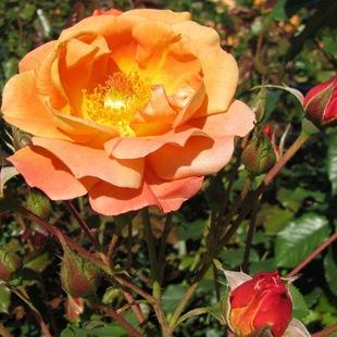 Роза 'Westerland'