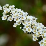 Спирея: белая пена цветов
