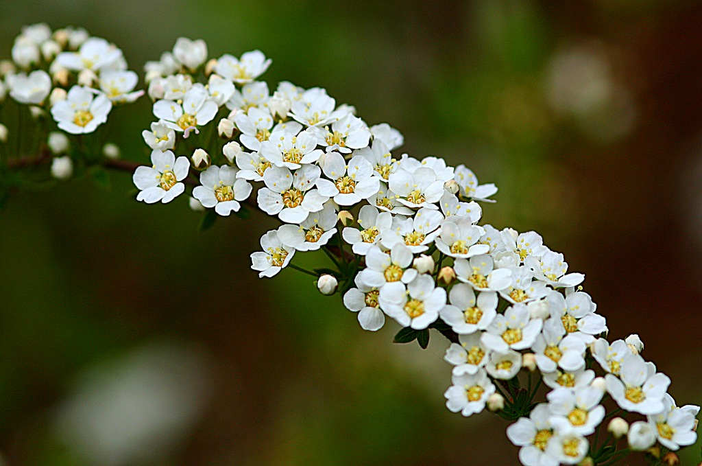 ... , Вангутта, иволистная. | Любимые цветы: flowers.cveti-sadi.ru/belaya-pena-spirei