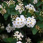 Спирея Вангутта – что за растение?
