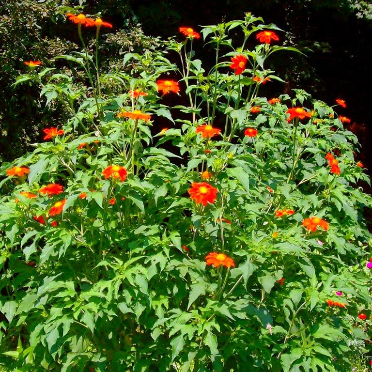 Цветы многолетники высокие фото