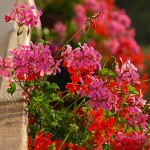 Композиции цветов для балконных ящиков